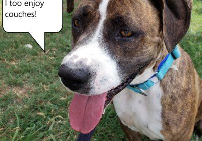 #dogtrainerroundrock #bestdogtrainingpflugerville #pitmixbarkbusters #shelterdogs