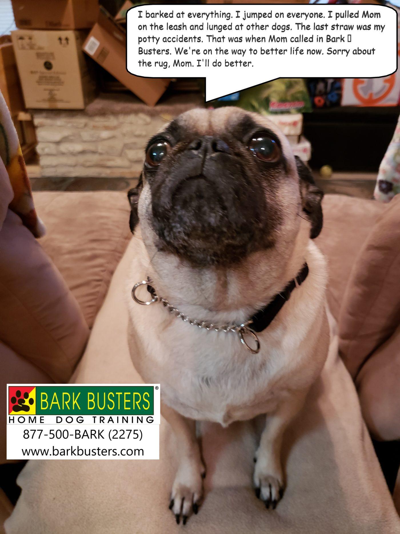 #pugdogtraining #dogsofbarkbusters #bestdogtrainingeastaustin #dogtrainerroundrock