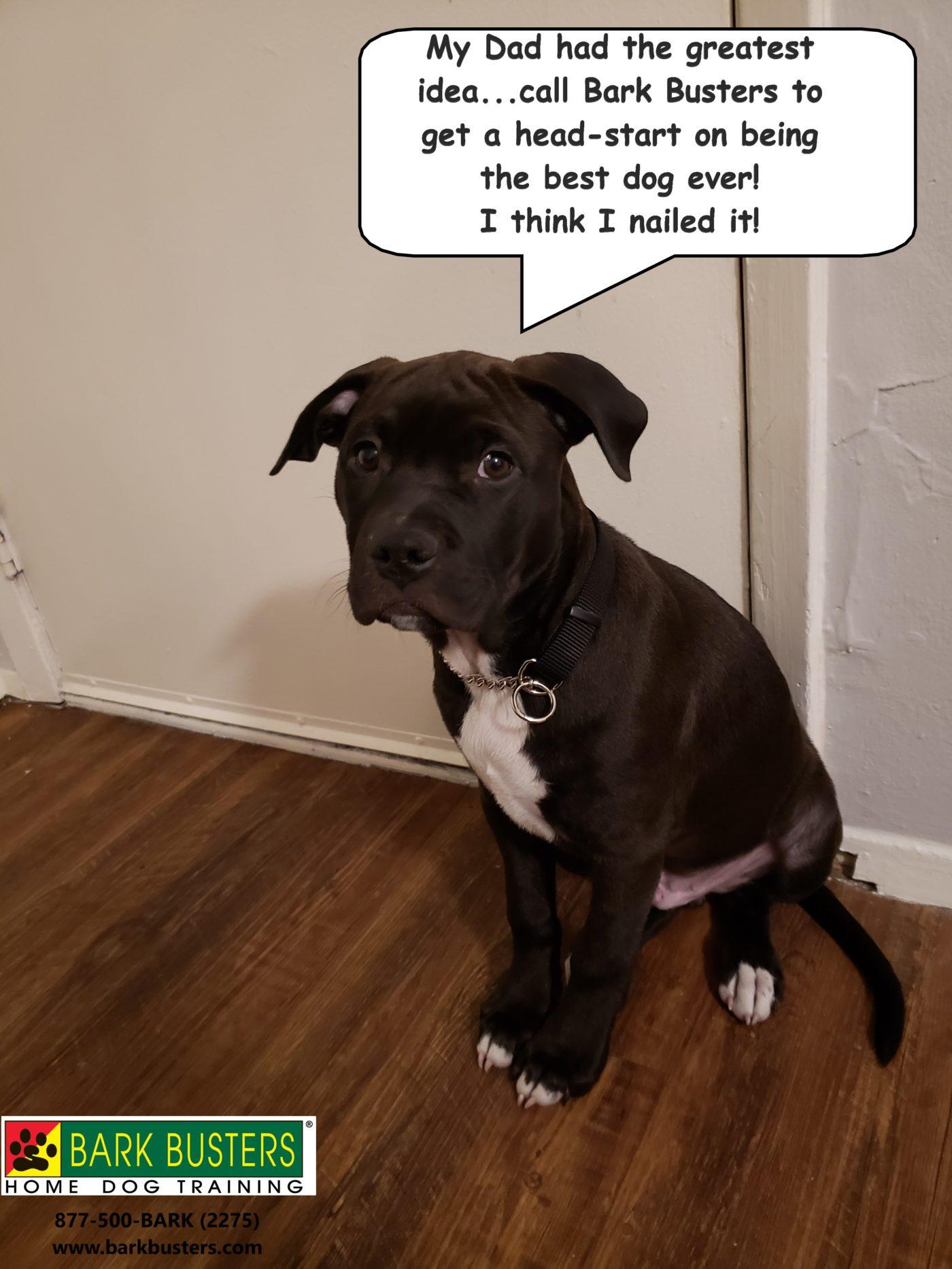 #pitbulldogtraining #bestdogtrainingroundrock #dogsofbarkbusters #bestdogtrainingeastaustin