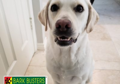 #labradordogtraining #dogsofbarkbusters #bestdogtrainingeastaustin #dogtrainerroundrock