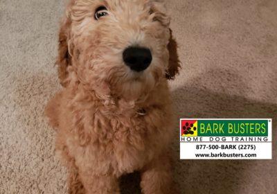 #goldendoodletraining #dogsofbarkbusters #bestdogtrainingroundrock #dogtrainingseaustin