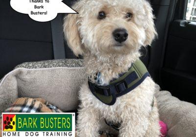 #poodletraining #dogsofbarkbusters dogtrainingpflugerville #dogtraining round rock