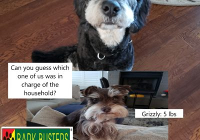 #bernadoodletraining #minischnauzertraining #dogtrainingroundrock #dogsofbarkbusters