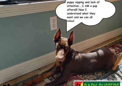 #dobermantraining #dogtrainingmanor #dogsofbarkbusters #learntospeakdog