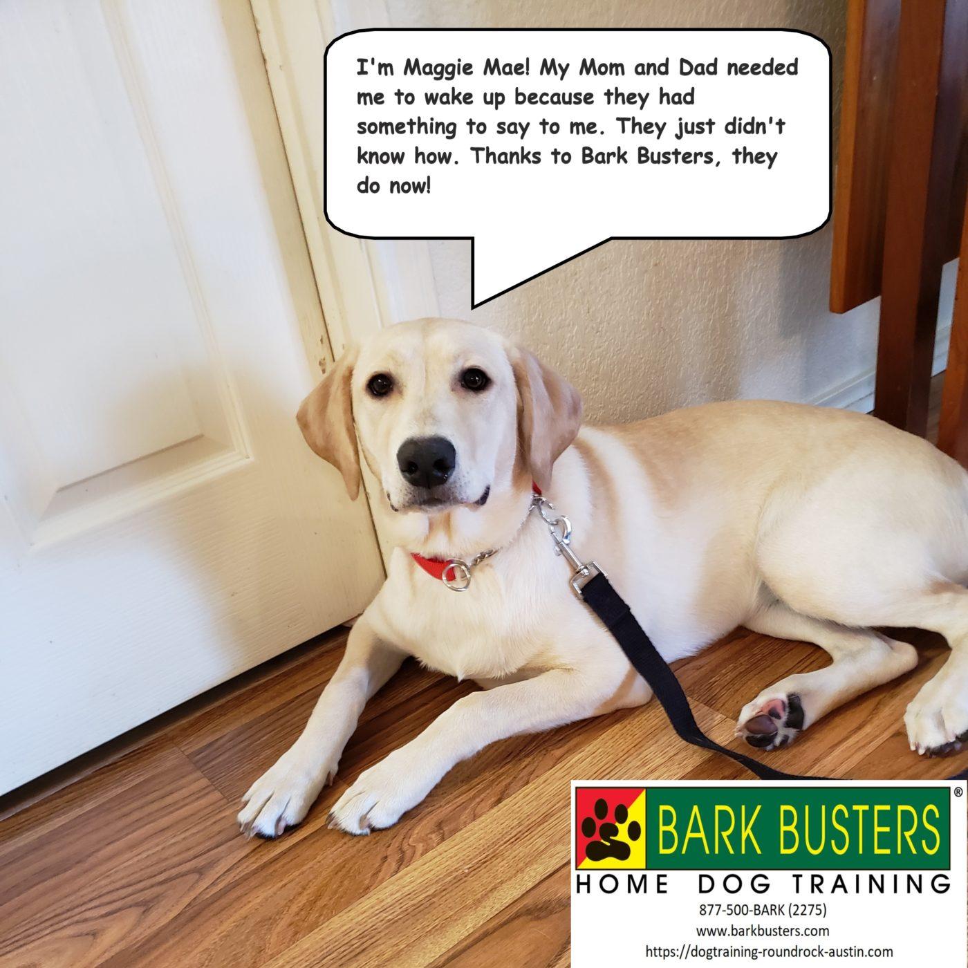 #labradortraining #dogtrainingeastaustin #dogsofbarkbusters #puppytraining #learntospeakdog