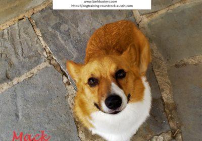 #siblingrivalry #corgi #dogsofbarkbusters #dogtrainingeastaustin #speakingdog