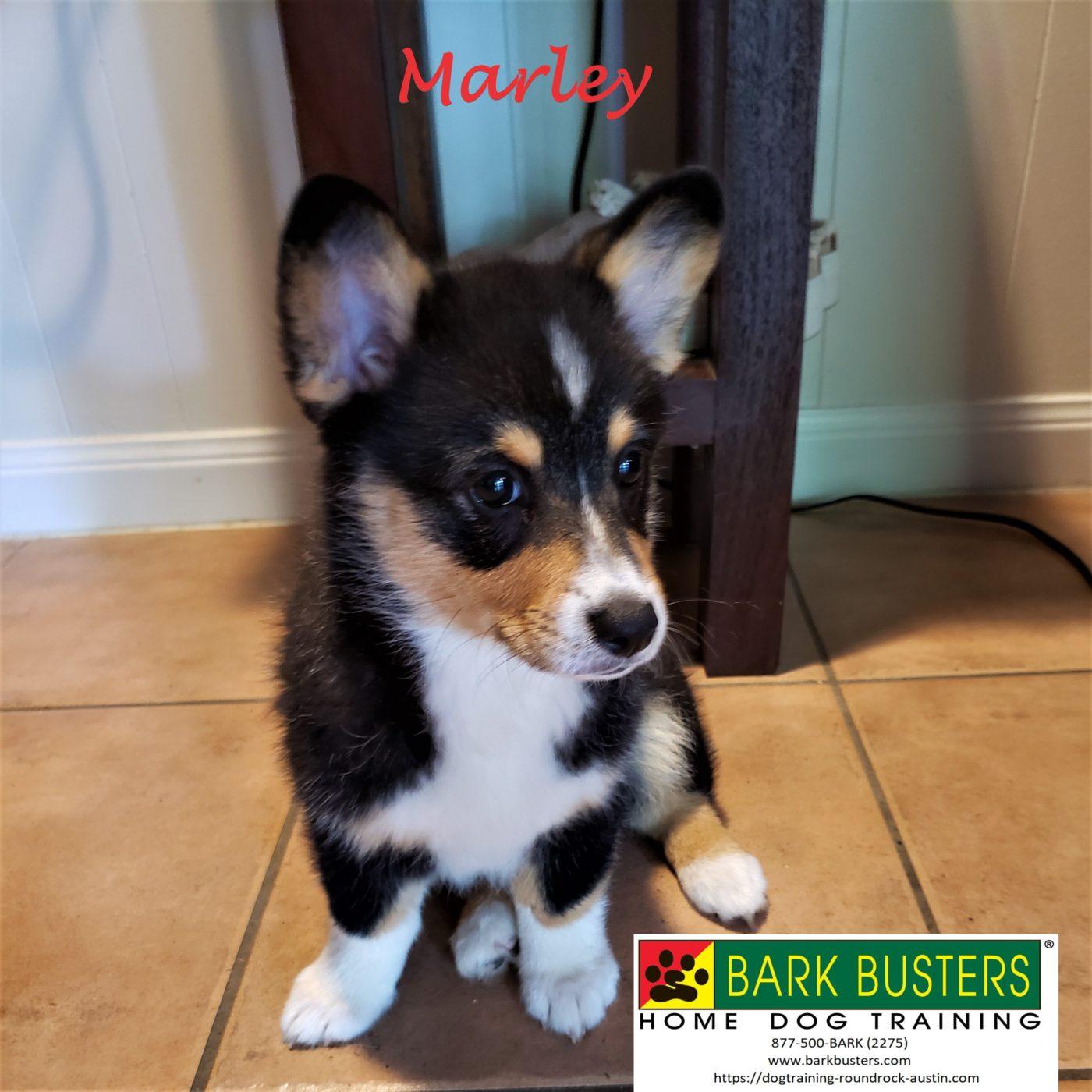 #puppytraining #corgi #dogtrainingeastaustin #dogsofbarkbusters #speakingdog