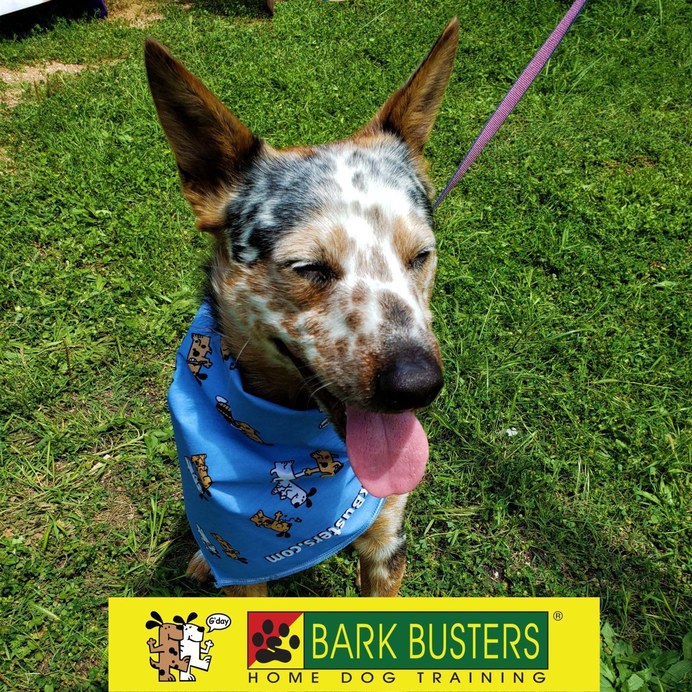 #woofstock2019 #cattledog #dogfashion #dogsofbarkbusters #speakingdog #dogtrainingpflugerville