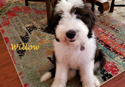 #sheepadoodle #dogtrainingsoutheastaustin #dogsofbarkbusters #dogtrainingroundrock #speakingdog #puppytraining