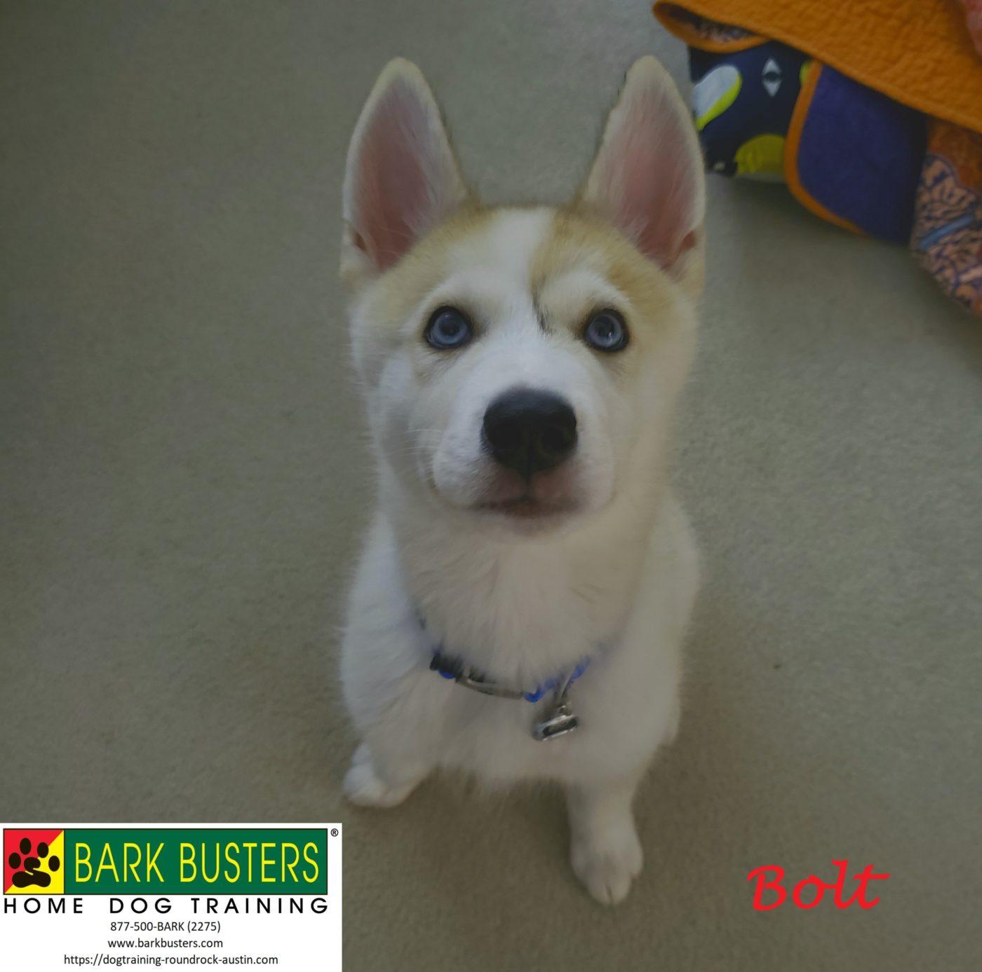 #husky #malamute #puppytraining #dogtrainingsoutheastaustin #dogsofbarkbusters #speakingdog