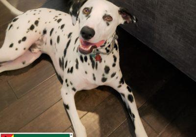 #dalmatian #aggression #leashmanners #dogsofbarkbusters #dogtrainingeastaustin #atx #speakingdog