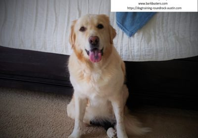 #labrador #greatpyrenese #siblingrivalry #dogaggression #dogtrainingsoutheastaustin #dogsofbarkbusters #speakingdog