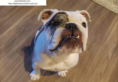 #dogtraininggeorgetown #dogaggression #englishbulldog #speakingdog #dogsofbarkbusters