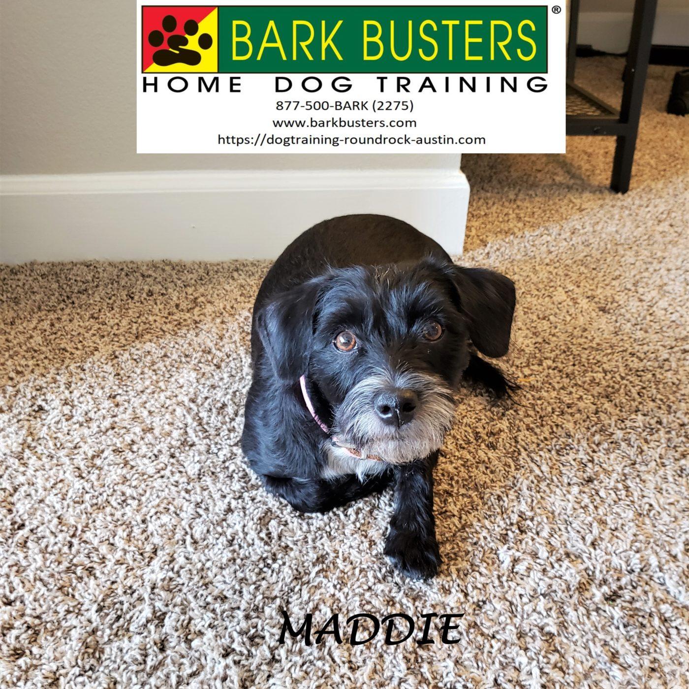 #terrier #obediencetraining #speakdog #dogtrainingeastaustin #atx #inhomedogtraining #dogsofbarkbusters