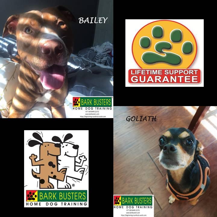 #pitbull #chihuahua #siblingrivalry #speakdog #dogtrainingroundrock #dogsofbarkbusters #inhomedogtraining