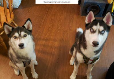 #husky #obediencetraining #leashmanners #dogtrainingroundrock #dogsofbarkbusters #speakdog #inhomedogtraining