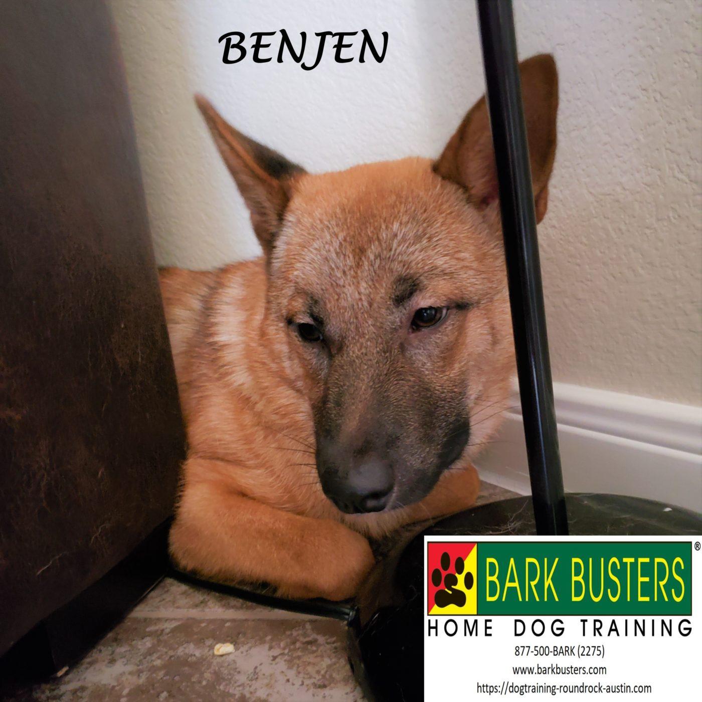 #jindo #koreandogmeattrade #rescueisbeautiful #rescuedog #dogsofbarkbusters #dogtrainingroundrock #speakdog #inhomedogtraining