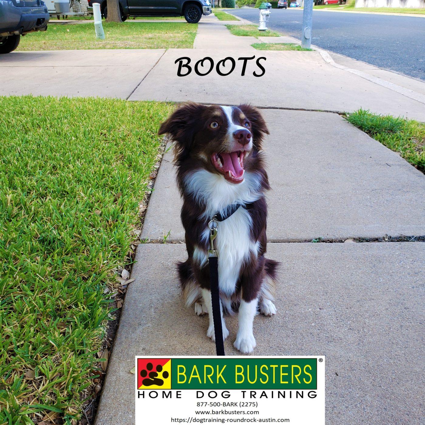 #miniaussie #leashmanners #obediencetraining #dogtrainingaustin #dogsofbarkbusters #speakdog #inhomedogtraining