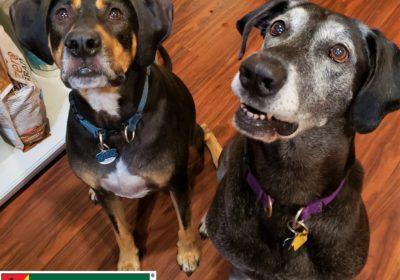 #greatdane #coonhound #rottweiler #leashmanners #recall #dogtrainingaustin #dogsofbarkbusters #speakdog #inhomedogtraining