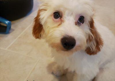 #cavapoo #puppytraining #dogtrainingaustin #atx #dogsofbarkbusters #barkbusters #speakdog #inhomedogtraining