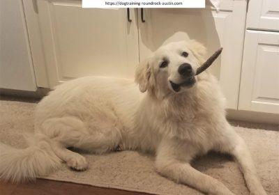 #greatpyrenees #aggressivedog #dogtrainingaustin #atx #dogsofbarkbusters #barkbusters #speakdog #inhomedogtraining