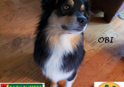 #miniaussie #dogtraininglibertyhill #obediencetraining #dogsofbarkbusters #barkbusters #neckupcheckup #speakdog #inhomedogtraining