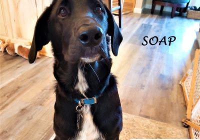 #labradorretriever #puppytraining #dogtraininglibertyhill #dogsofbarkbusters #barkbusters #inhomedogtraining #speakdog