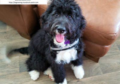 #bernadoodle #puppytraining #dogtrainingaustin #dogsofbarkbusters #barkbusters #atx #speakdog #inhomedogtraining
