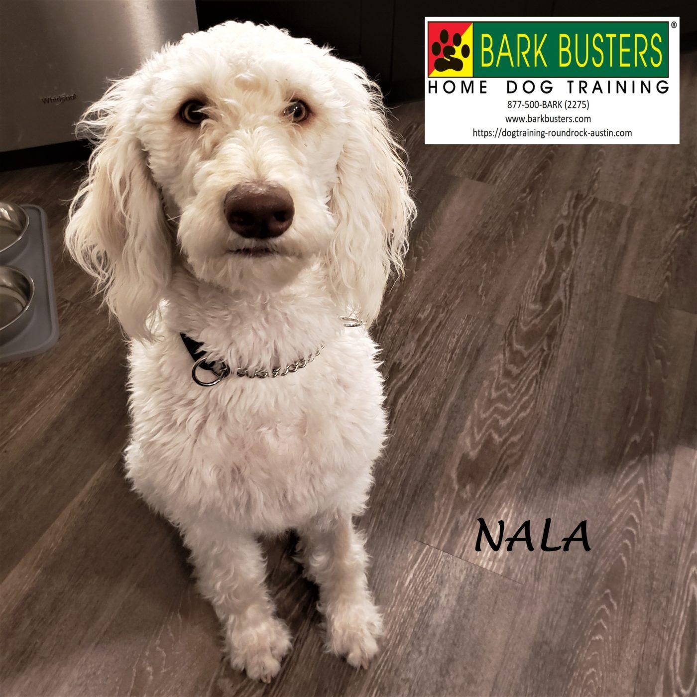 #doubledoodle #leashmanners #obediencetraining #dogsofbarkbusters #barkbusters #dogtrainingaustin #atx #speakdog #inhomedogtraining