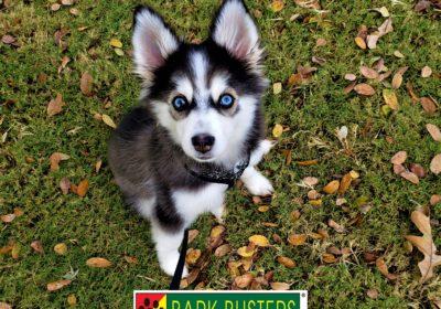 #pomsky #dogtrainingmanor #dogtrainingroundrock #dogsofbarkbusters #barkbusters #puppytraining #speakdog #inhomedogtraining