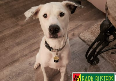 #pitbull #doganxiety #fearfuldog #obediencetraining #dogtrainingaustin #atx #dogsofbarkbusters #barkbusters #speakdog #inhomedogtraining