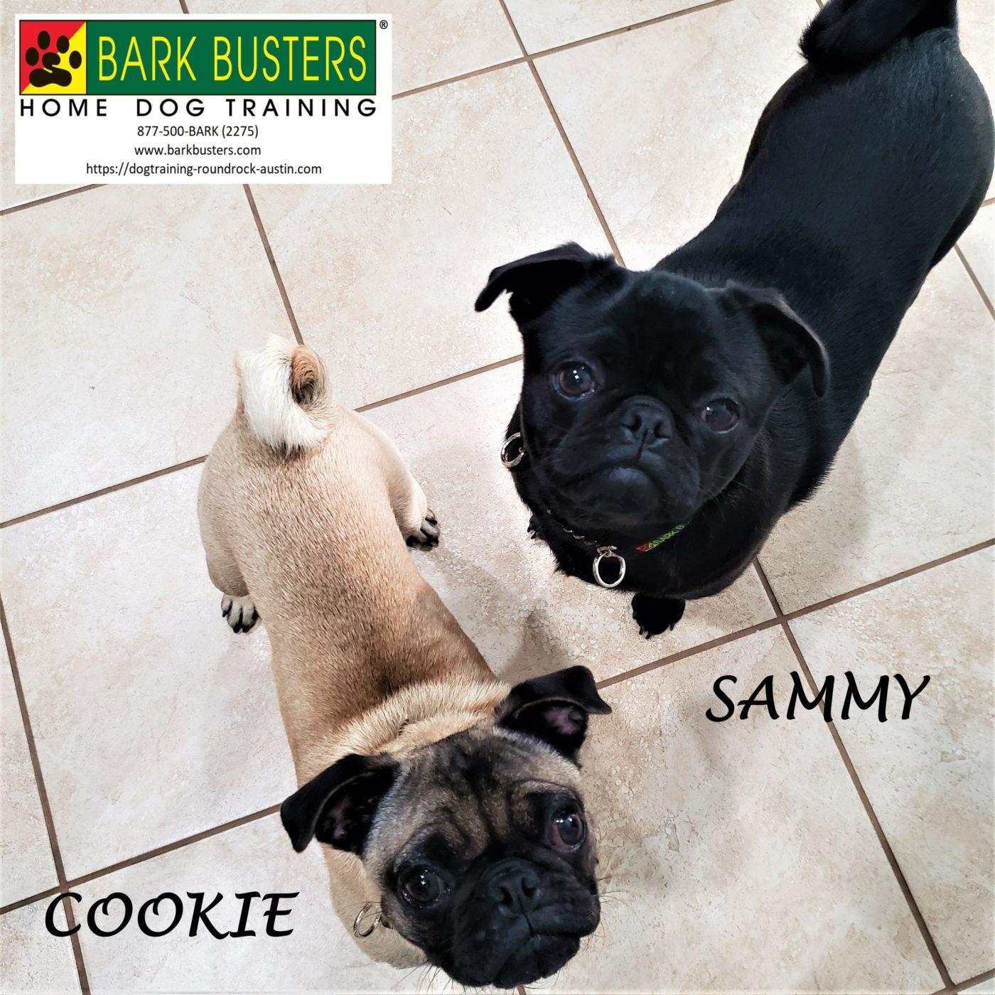 #pug #doormanners #leashtraining #obediencetraining #dogtrainingroundrock #dogsofbarkbusters #barkbusters #speakdog #inhomedogtraining