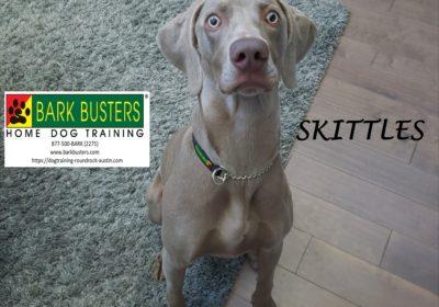 #weimaraner #dogtrainingroundrock #bestdogtrainerroundrock #leashtraining #obediencetraining #dogsofbarkbusters #barkbusters #speakdog #inhomedogtraining