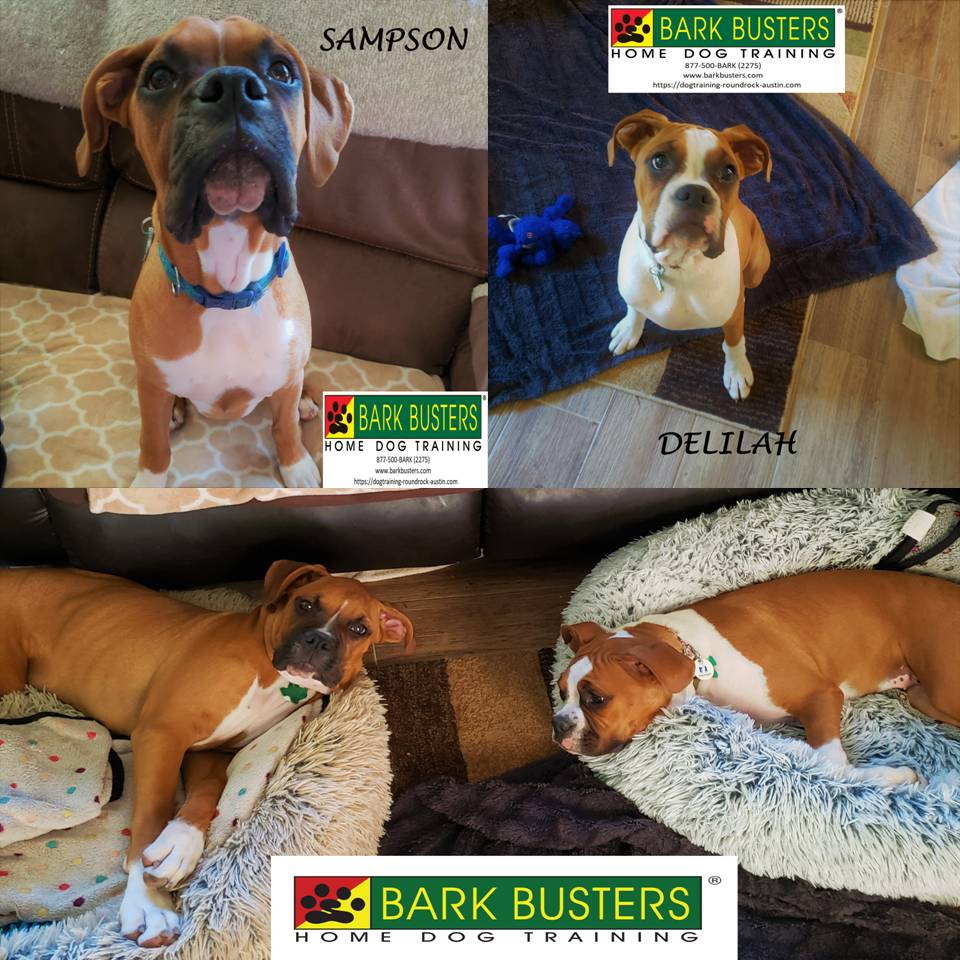 #boxer #obediencetraining #puppies #dogtrainingaustin #bestdogtrainerroundrock #dogsofbarkbusters #speakdog #inhomedogtraining