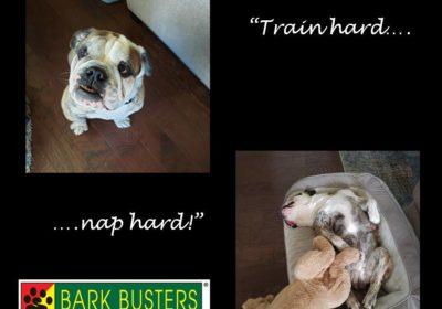 #bulldog #englishbulldog #siblingrivalry #dogsofbarkbusters #dogtrainingpflugerville #bestdogtrainingroundrock #speakdog #barkbusters #inhomedogtraining