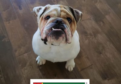 #englishbulldog #bulldog #dogtrainingpflugerville #bestdogtrainerroundrock #obediencetraining #leashmanners #dogsofbarkbusters #barkbusters #inhomedogtraining