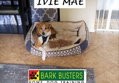 #foxhound #dogtrainingaustin #dogtrainernearme #dogsofbarkbusters #dogaggression #fearfuldog #speakdog #inhomedogtraining