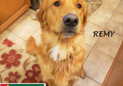 #goldenretriever #obediencetraining #leashtraining #dogtrainingroundrock #dogtrainernearme #dogsofbarkbusters #barkbusters #speakdog #inhomedogtraining