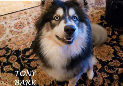 #husky #leashtraining #obediencetraining #dogtrainingcedarcreek #dogtrainernearme #dogsofbarkbusters #speakdog #inhomedogtraining #dogtrainerroundrock