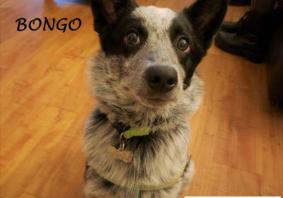 #australiancattledog #puppytraining #dogtrainingaustin #dogtrainingnearme #bestdogtrainerroundrock #speakdog #dogsofbarkbusters #barkbusters #inhomedogtraining
