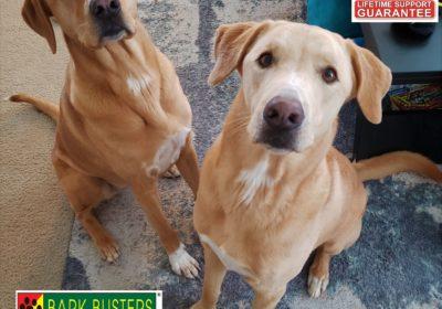 #labradorretriever #greatpyrenees #dogtrainingaustin #dogtrainernearme #littermates #barkbusters #speakdog #inhomedogtraining #obediencetraining