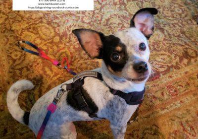 #ratterrier #chihuahua #heeler #aggression #leashmanners #obediencetraining #napoleonsyndrome #dogtrainingaustin #dogtrainingnearme #barkbusters #inhomedogtraining #speakdog