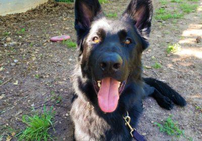 #germanshepherd #dogocd #dogtrainingmanor #dogtrainernearme #barkbusters #speakdog #inhomedogtraining