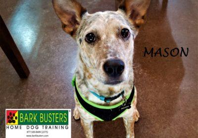 #cattledog #dogaggression #dogtrainingaustin #dogtrainernearme #barkbusters #speakdog #inhomedogtraining