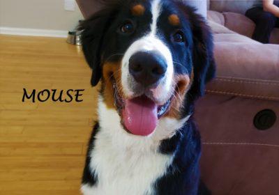 #bernesemountaindog #puppytraining #leashtraining #dogtrainingaustin #dogtrainernearme #barkbusters #speakdog #inhomedogtraining