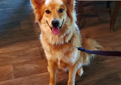 #goldenretriever #germanshepherd #rescuedog #leashmanners #dogaggression #dogtraininghutto #dogtrainernearme #barkbusters #speakdog #inhomedogtraining