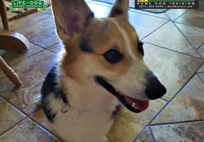 #corgi #leashmanners #leashtraining #dogtrainingroundrock #dogtrainernearme #speakdog #barkbusters #inhomedogtraining