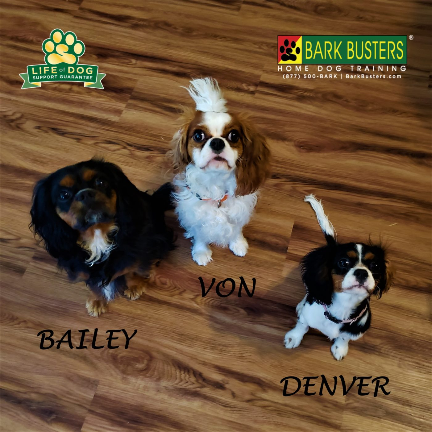 #cavalierkingcharlesspaniel #resourceguarding #leashtraining #puppytraining #dogtrainingaustin #dogtrainernearme #barkbusters #speakdog #inhomedogtraining