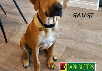 #rhodesianridgeback #puppytraining #dogtraininglibertyhill #dogtrainernearme #barkbusters #speakdog #inhomedogtraining