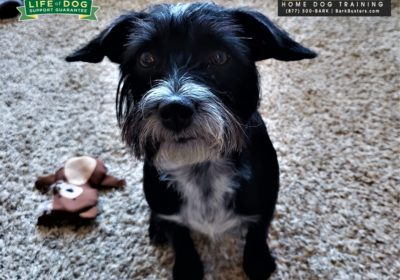 #terrier #poodle #leashaggression #quarantinewoes #dogtrainingaustin #dogtrainernearme #barkbusters #speakdog #inhomedogtraining #socialdistancingbutnotathome